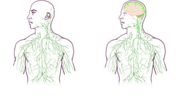 Maps of the lymphatic system: old (left) and updated to reflect UVA discovery.